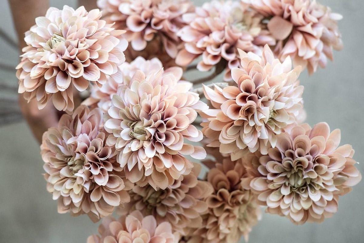 Bouquet de dahlias roses pâles